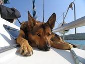 Dog on board — Stock Photo
