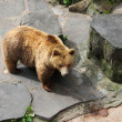 Stock Photo: Brown bear in a zoo