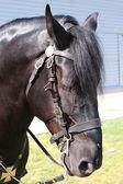 Portrait of a black horse — Stock Photo