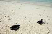 Baby turtles in Terengganu Malaysia — Stock Photo
