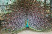 Beautiful Peacock at Bird Farm — Stock Photo
