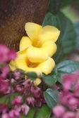 Malaysian Flower — Stock Photo