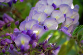 Wisteria (close-up) — Stock Photo