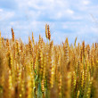 Stock Photo: Yellow Grain