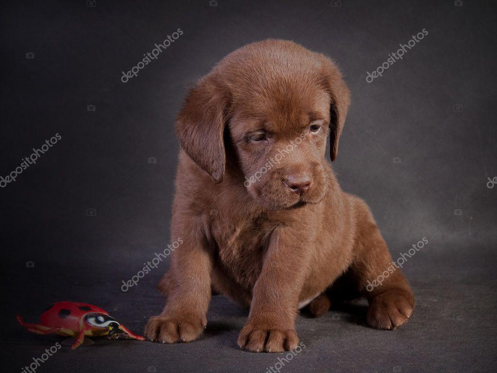 拉布拉多犬小狗