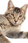 Cute Tabby Kitten face — Foto de Stock