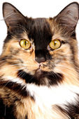 Calico Portrait — Stock Photo