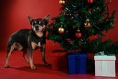 Chihuahua with Christmas tree — Stock Photo