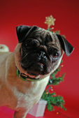 Pug in front of a Christmas tree — Stock Photo
