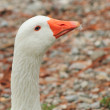 Goose on the beach — Stock Photo
