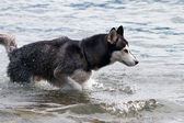 Husky dog — Stock fotografie