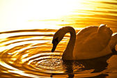 Swan & sunset — Stock Photo