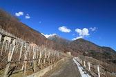 Vineyards in Valtellina (northern Italy) — Stock Photo