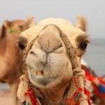Smiling camel — Stock Photo #6305420