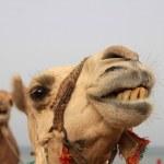 Постер, плакат: Dromedary camel