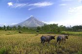 Buffalos under Mayon volcano — Stockfoto
