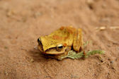 Golden frog on the sand — Stock Photo