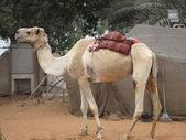 Camel in the Desert — Zdjęcie stockowe