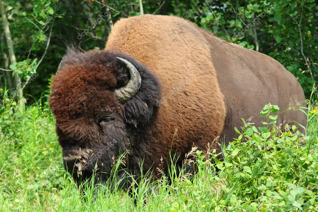 Large male American plains bison — Stock Photo #6297804