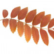 Mountain ash leaf — Stock Photo