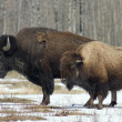 Wood Bison — Stock Photo #6341404