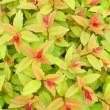 Green and red foliage — Stock Photo