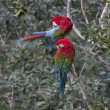 Scarlet Macaws — Stock Photo