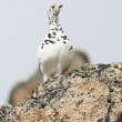 Male white tailed ptarmigan — Stock Photo