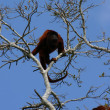Red Howler Monkey — Stock Photo