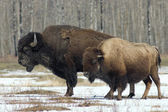 Wood Bison — Stock Photo