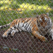 Zoo tiger — Photo