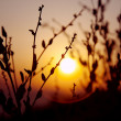 Sunset plant silhuette - Stock Photo