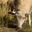 Grazing sheep — Stock Photo