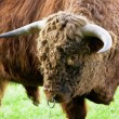 Aggressive Brown Bull — Stock Photo #6730369