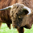 Stock Photo: Aggressive Brown Bull