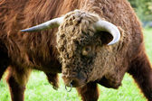 Aggressive Brown Bull — Stock Photo