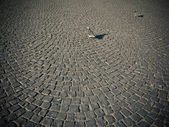 Doves on cobblestone pavement — Stock Photo