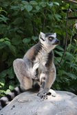 Lemur Catta — Stock Photo