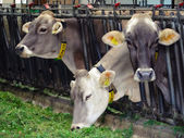 Three cows in cowshed — Stock Photo