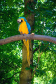 Niebieski i żółty Ara (ara ararauna) — Zdjęcie stockowe