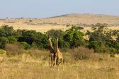 两个长颈鹿 — 图库照片