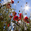 Stock Photo: Sun poppies.