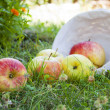 Harvest apples — Stock Photo #6326482