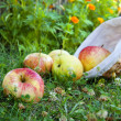 Harvest apples — Stock Photo #6326492