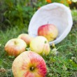 Harvest apples — Stock Photo #6326506