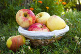Harvest apples — Stock Photo