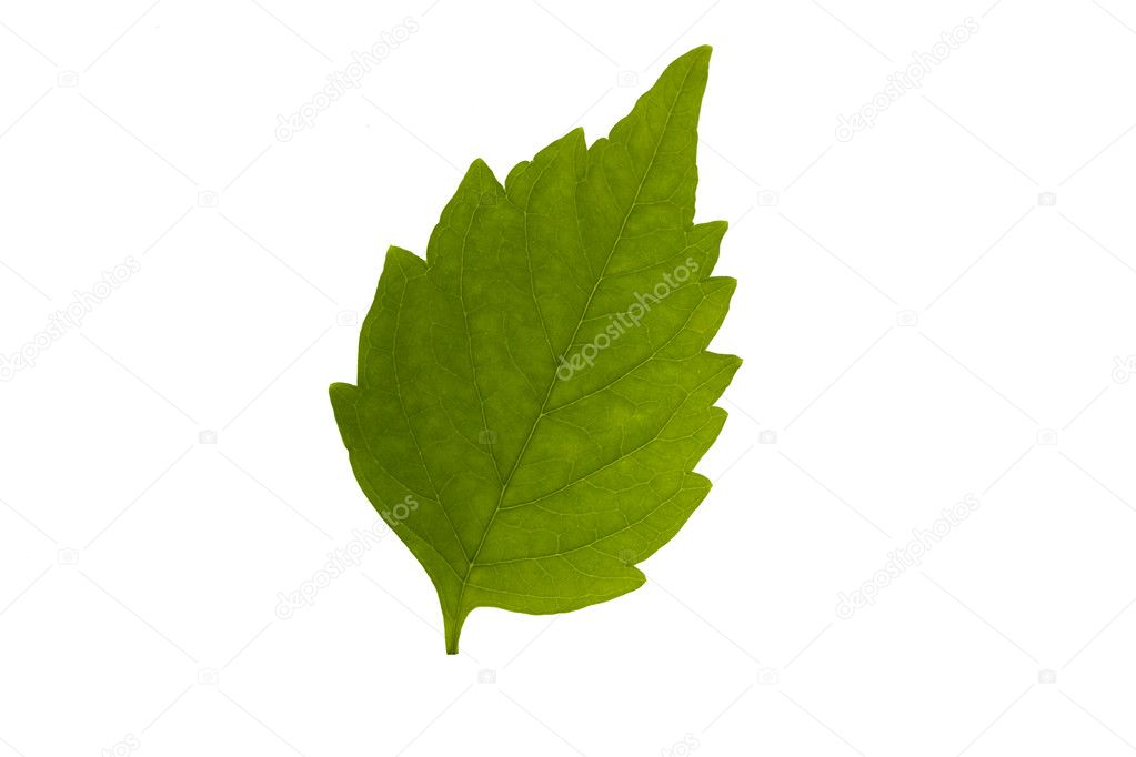 Green leaf isolated on white background — Stock Photo #6326233
