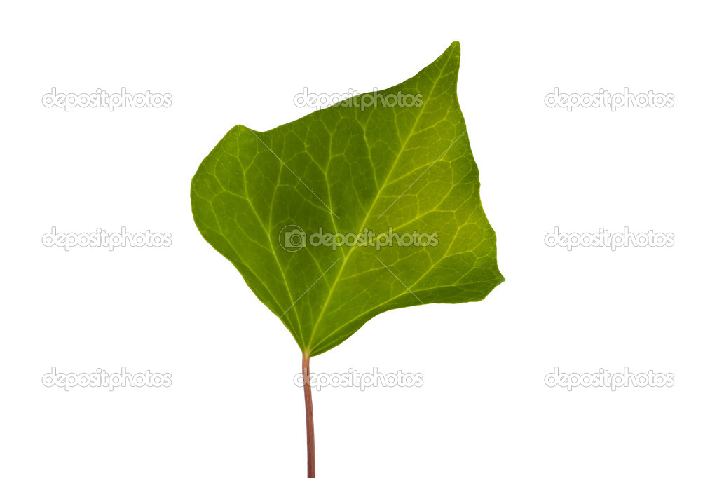 Ivy green leaf isolated on white background  Stock Photo #6326243