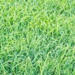 Top view of green grass - Stock Photo