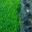 Green grass of rice field - Stock Photo